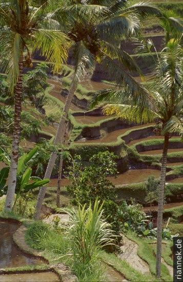 Reisfelder bei Ubud