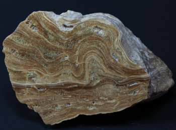 Stromatolith aus der Umgebung des Natronsees, Breite ca. 9 cm