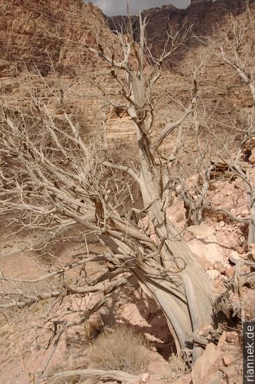 Wacholderbaum bei Dana