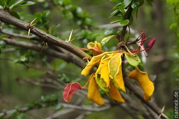 Aecidium magellanicum
